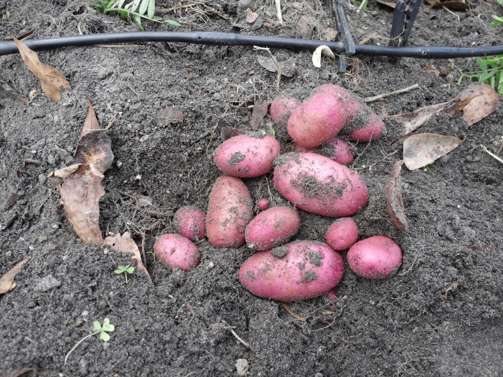 New potatoes March 2015