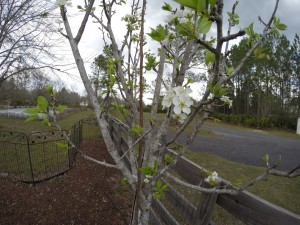 Pear in bloom