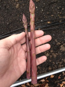 Purple asparagus April 2013