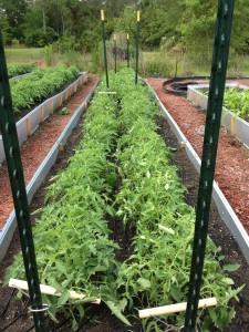 Tomato trellis May 2013