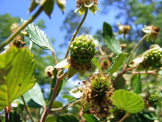 Blackberries are coming