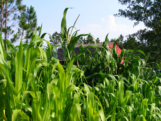 Corn AM June 12 2008