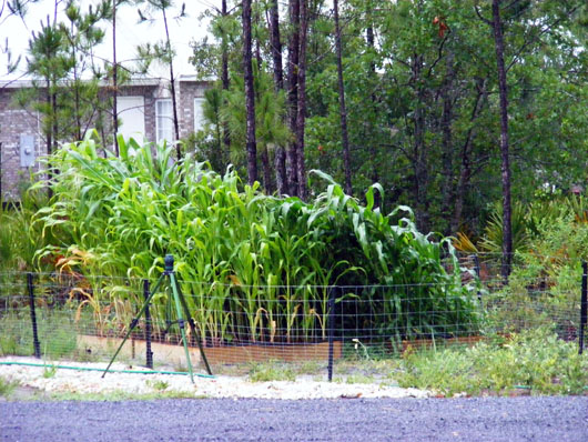 Corn blowdown June 12 2008