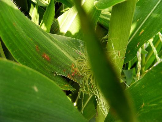 Corn ears June 12 2008