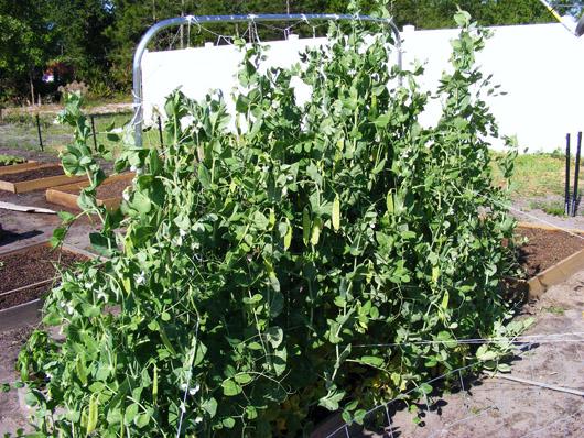 Snow peas, May 4
